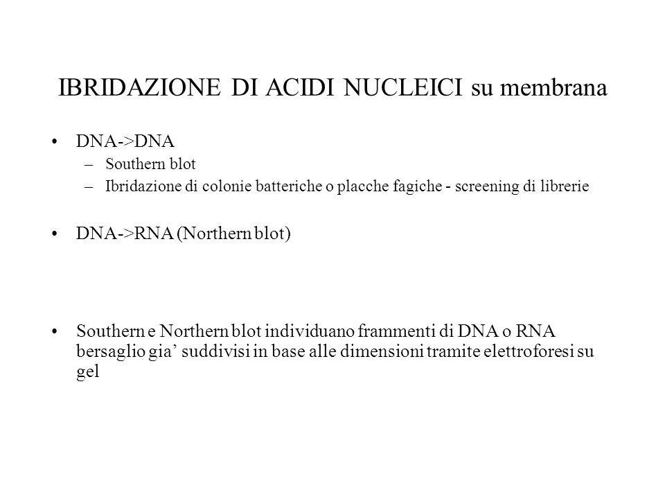 IBRIDAZIONE DI ACIDI NUCLEICI su membrana