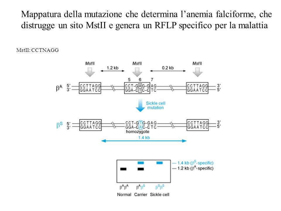 Mappatura della mutazione che determina l'anemia falciforme, che