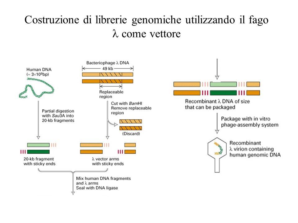 Costruzione di librerie genomiche utilizzando il fago l come vettore