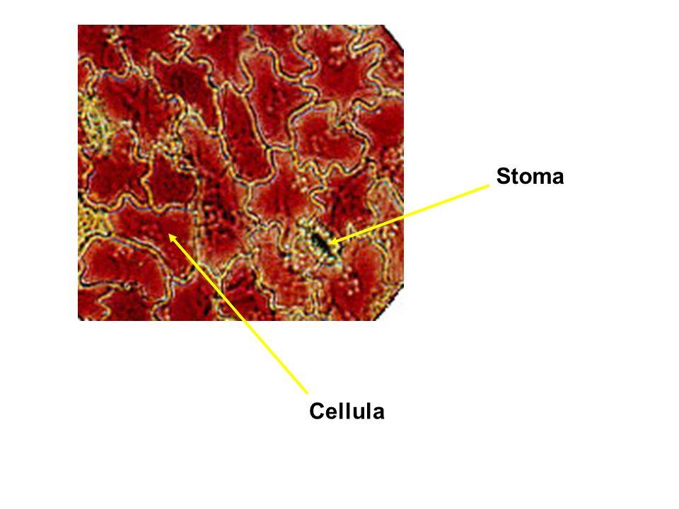 Stoma Cellula