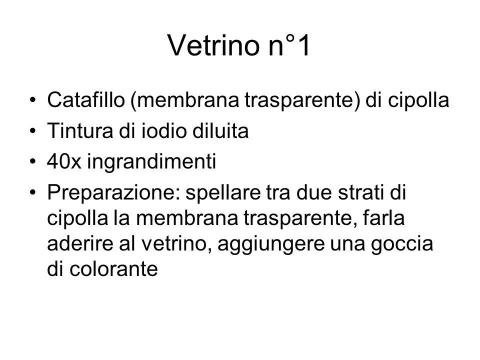 Vetrino n°1 Catafillo (membrana trasparente) di cipolla