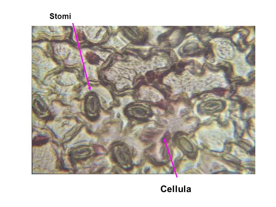 Stomi Cellula