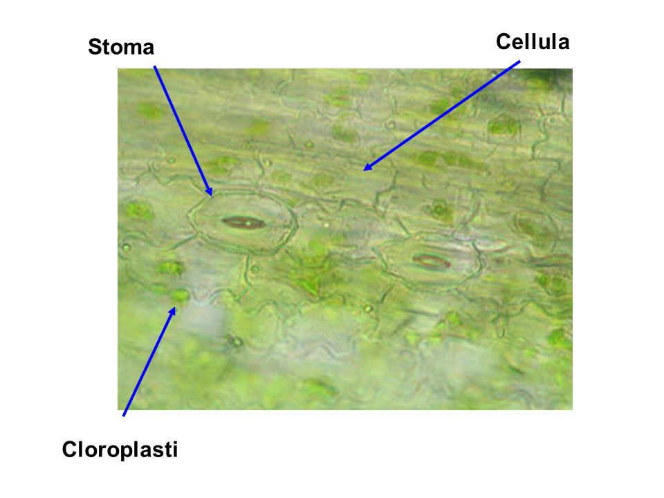 Cellula Stoma Cloroplasti