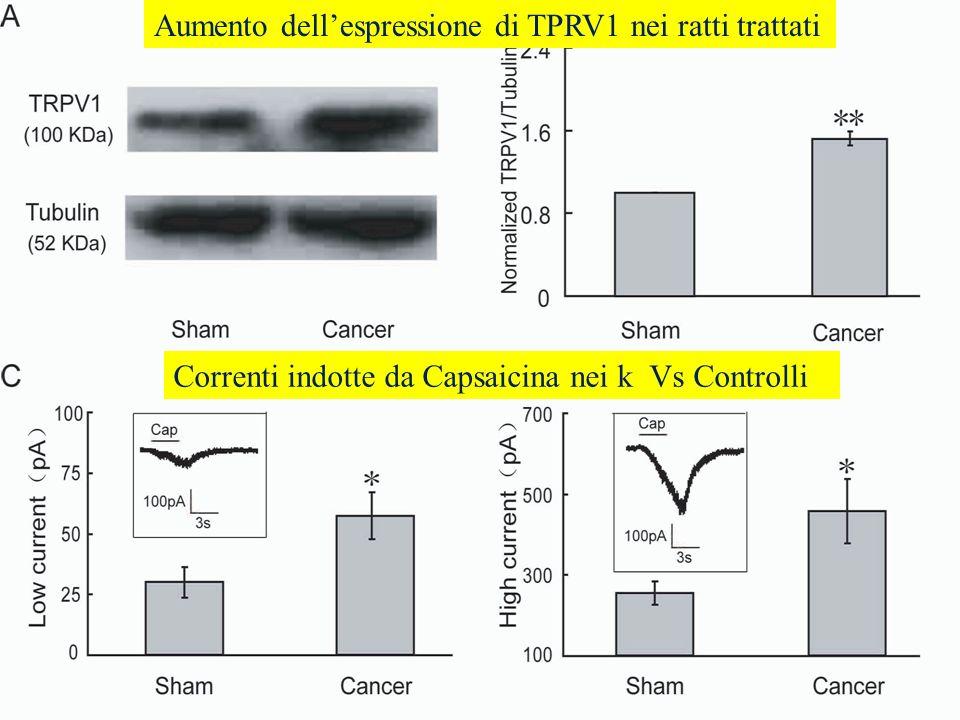 Aumento dell'espressione di TPRV1 nei ratti trattati