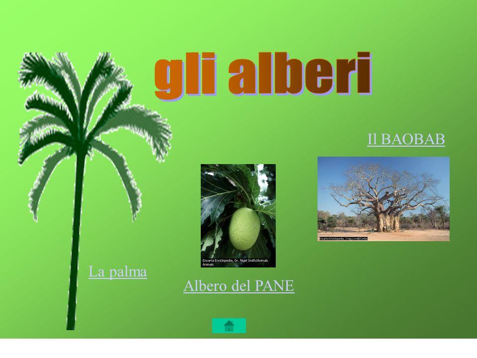 Gli alberi gli alberi Il BAOBAB La palma Albero del PANE