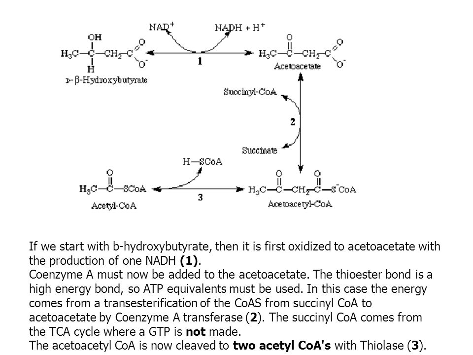 If we start with b-hydroxybutyrate, then it is first oxidized to acetoacetate with the production of one NADH (1).