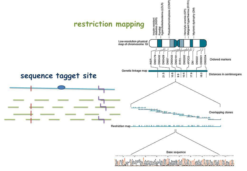 restriction mapping sequence tagget site