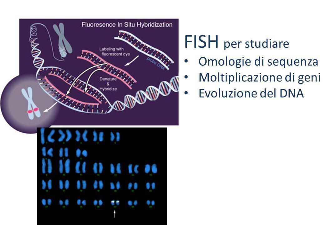 FISH per studiare FISH per localizzare Omologie di sequenza