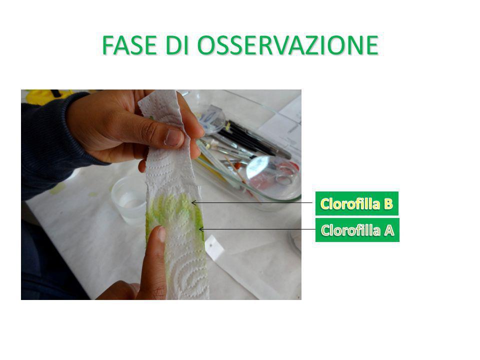 FASE DI OSSERVAZIONE Clorofilla B Clorofilla A