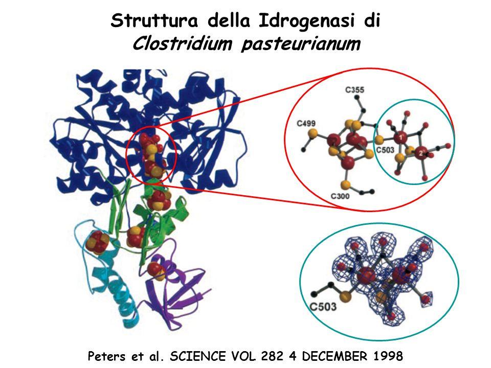 Struttura della Idrogenasi di Clostridium pasteurianum