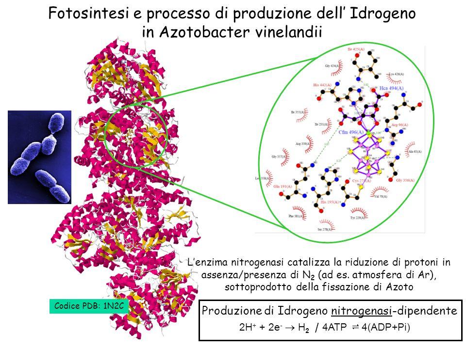 Fotosintesi e processo di produzione dell' Idrogeno in Azotobacter vinelandii