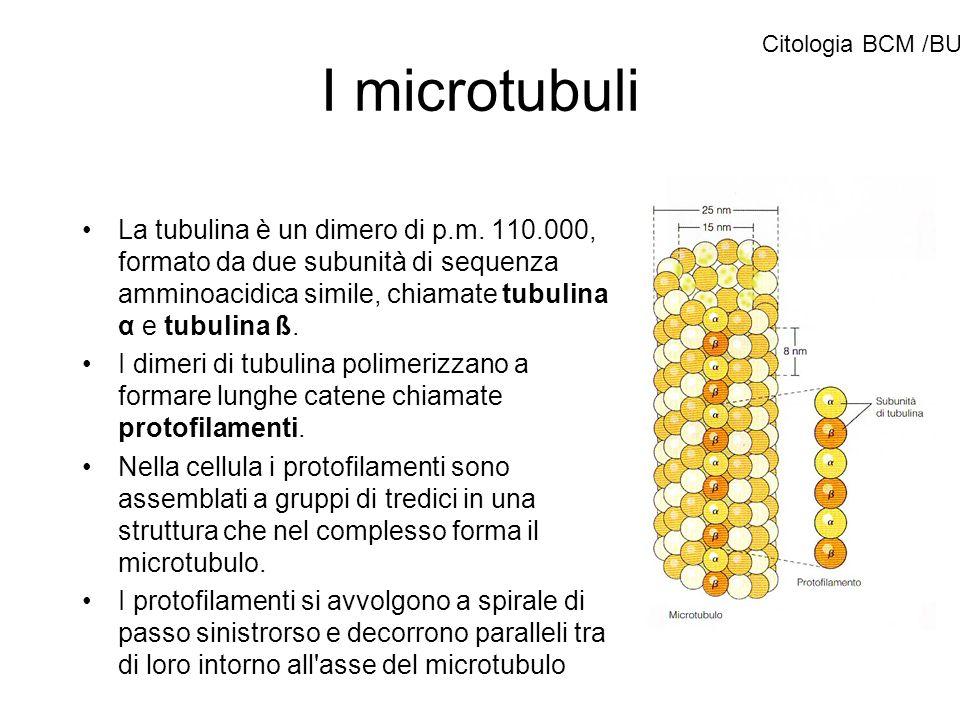 I microtubuli Citologia BCM /BU.