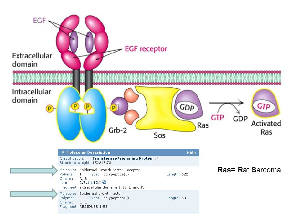 Ras= Rat Sarcoma