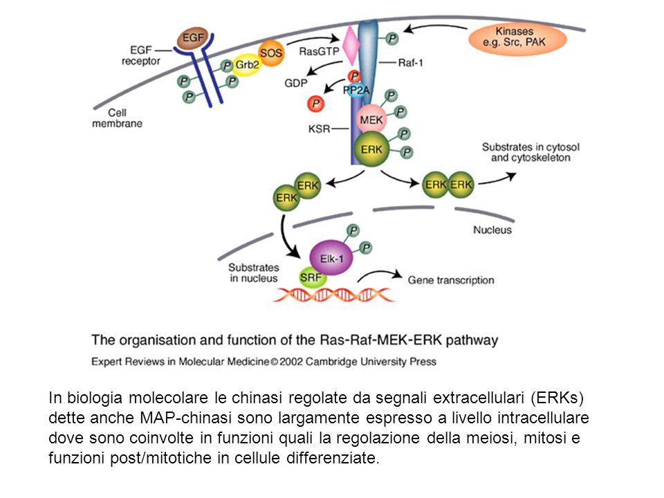 In biologia molecolare le chinasi regolate da segnali extracellulari (ERKs) dette anche MAP-chinasi sono largamente espresso a livello intracellulare dove sono coinvolte in funzioni quali la regolazione della meiosi, mitosi e funzioni post/mitotiche in cellule differenziate.