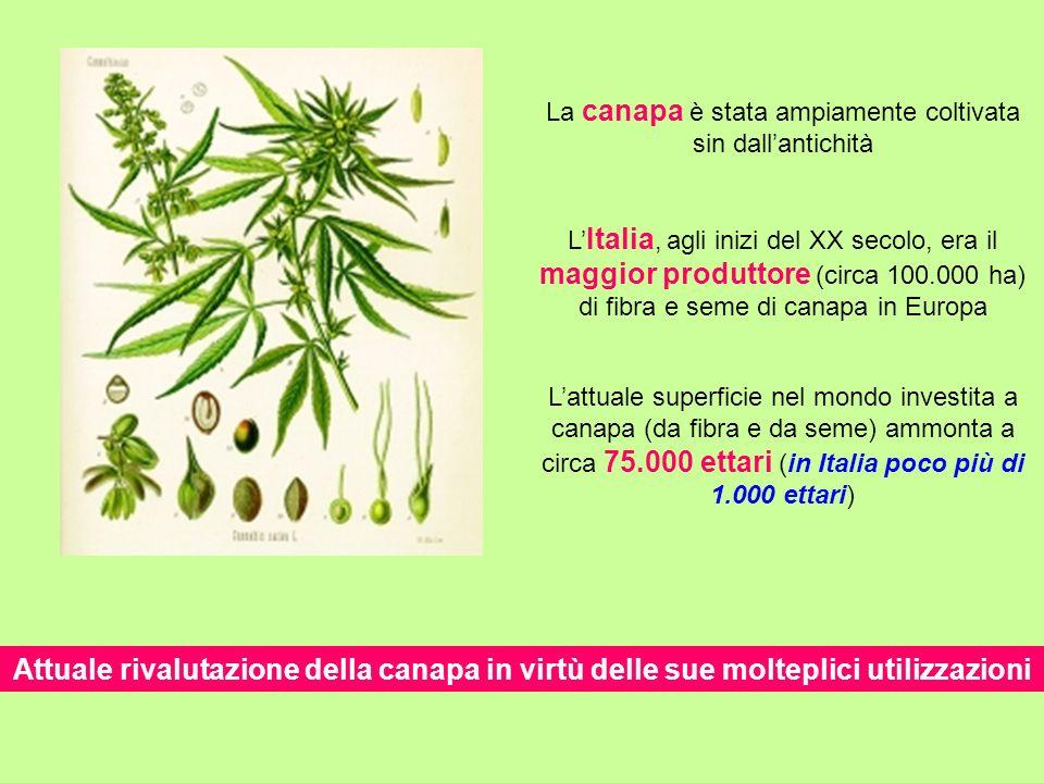 La canapa è stata ampiamente coltivata sin dall'antichità