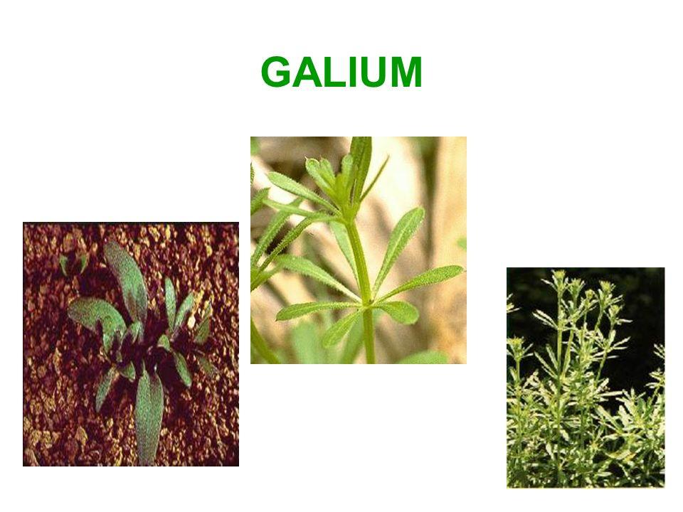 GALIUM