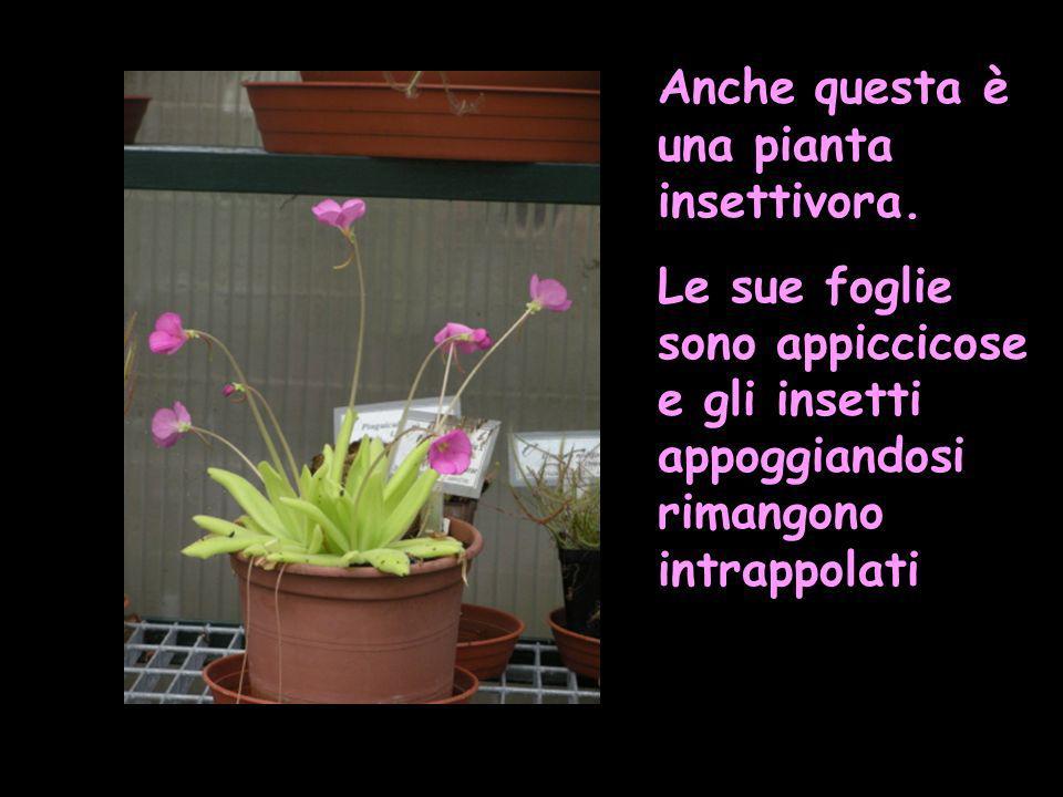 Anche questa è una pianta insettivora.