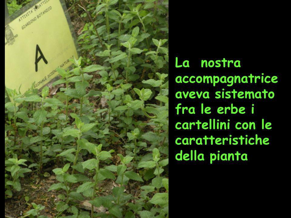 La nostra accompagnatrice aveva sistemato fra le erbe i cartellini con le caratteristiche della pianta
