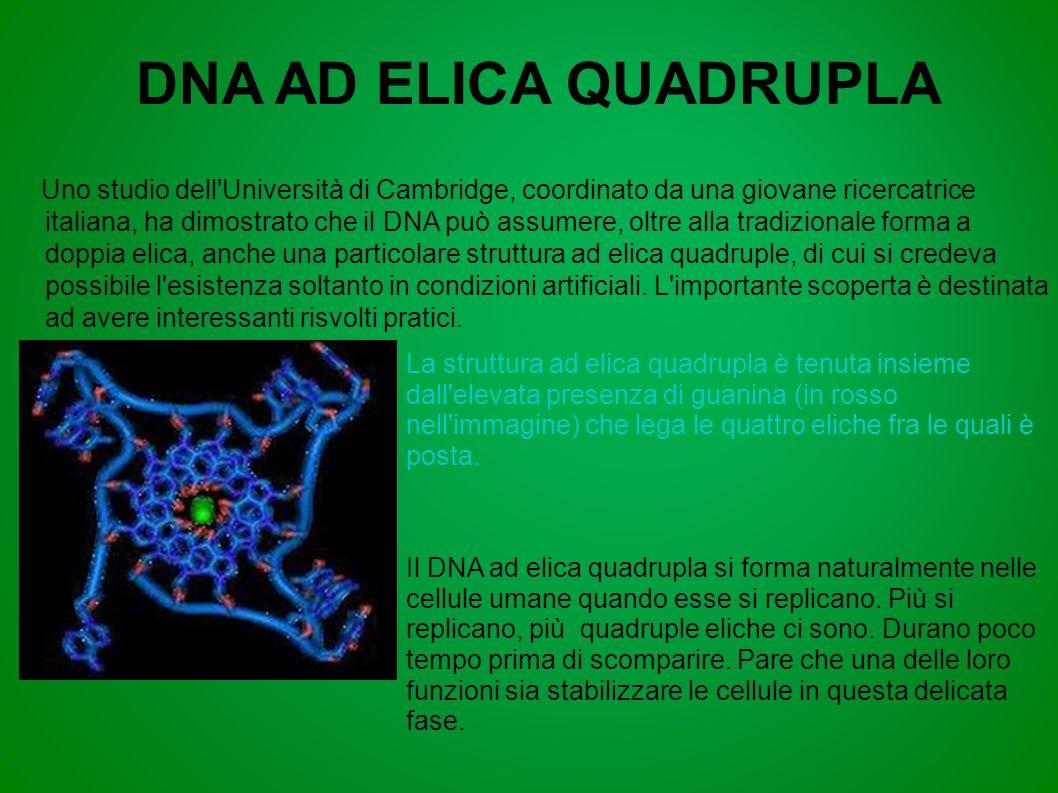 DNA AD ELICA QUADRUPLA
