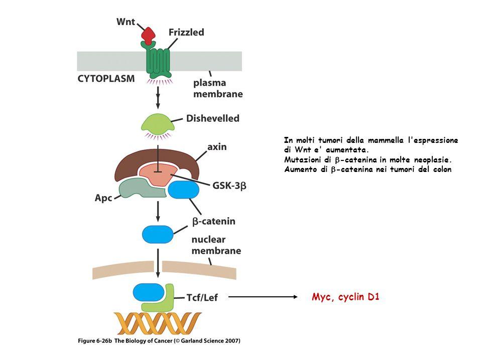 Myc, cyclin D1 In molti tumori della mammella l espressione