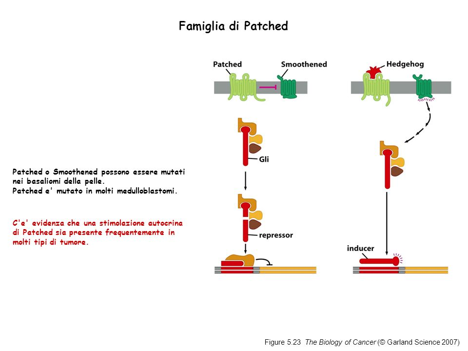Famiglia di Patched Patched o Smoothened possono essere mutati