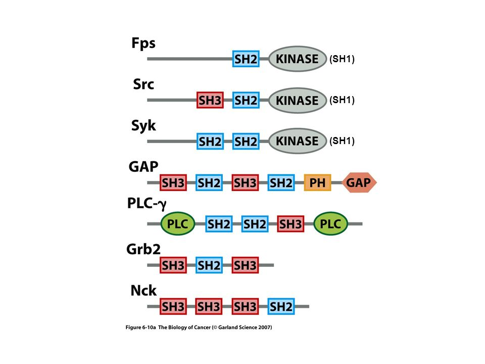 (SH1) (SH1) (SH1) Il dominio PH lega il PIP(3)