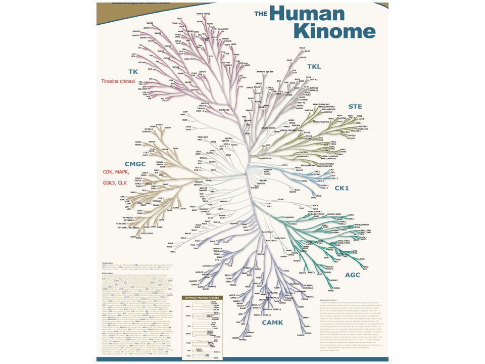 Il chinoma umano comprende 518 chinasi (o forse qualcuna in piu )