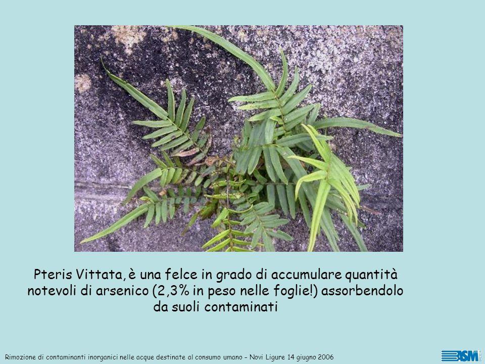 Pteris Vittata, è una felce in grado di accumulare quantità notevoli di arsenico (2,3% in peso nelle foglie!) assorbendolo da suoli contaminati