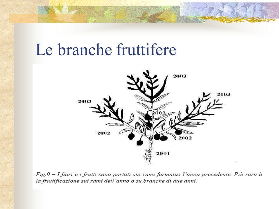 Le branche fruttifere