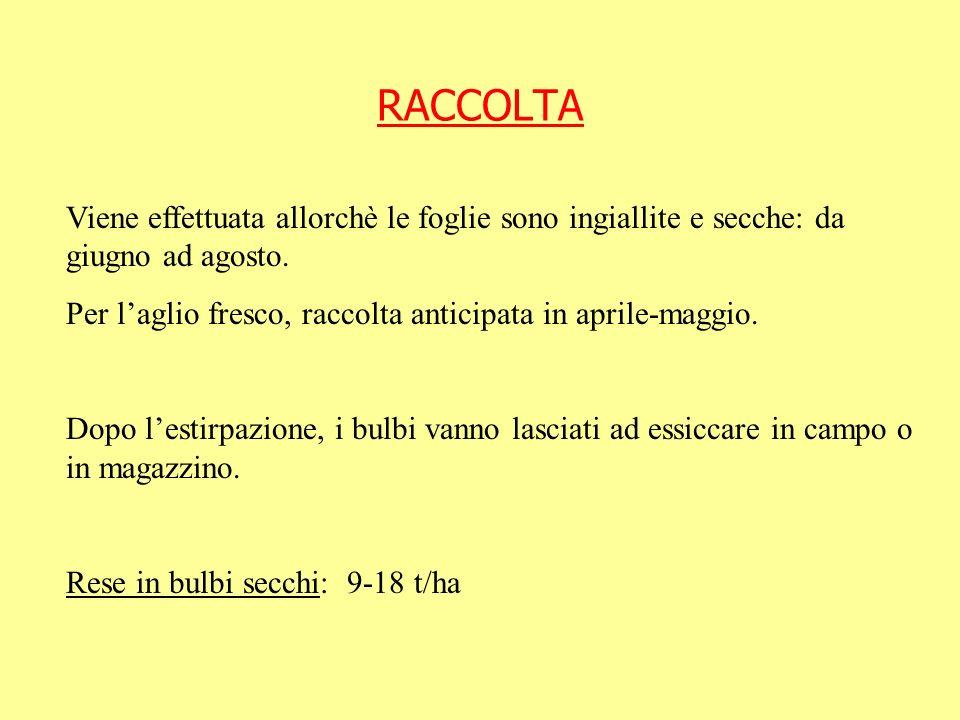 RACCOLTAViene effettuata allorchè le foglie sono ingiallite e secche: da giugno ad agosto. Per l'aglio fresco, raccolta anticipata in aprile-maggio.