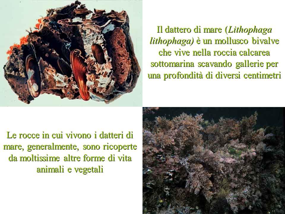 Il dattero di mare (Lithophaga lithophaga) è un mollusco bivalve che vive nella roccia calcarea sottomarina scavando gallerie per una profondità di diversi centimetri