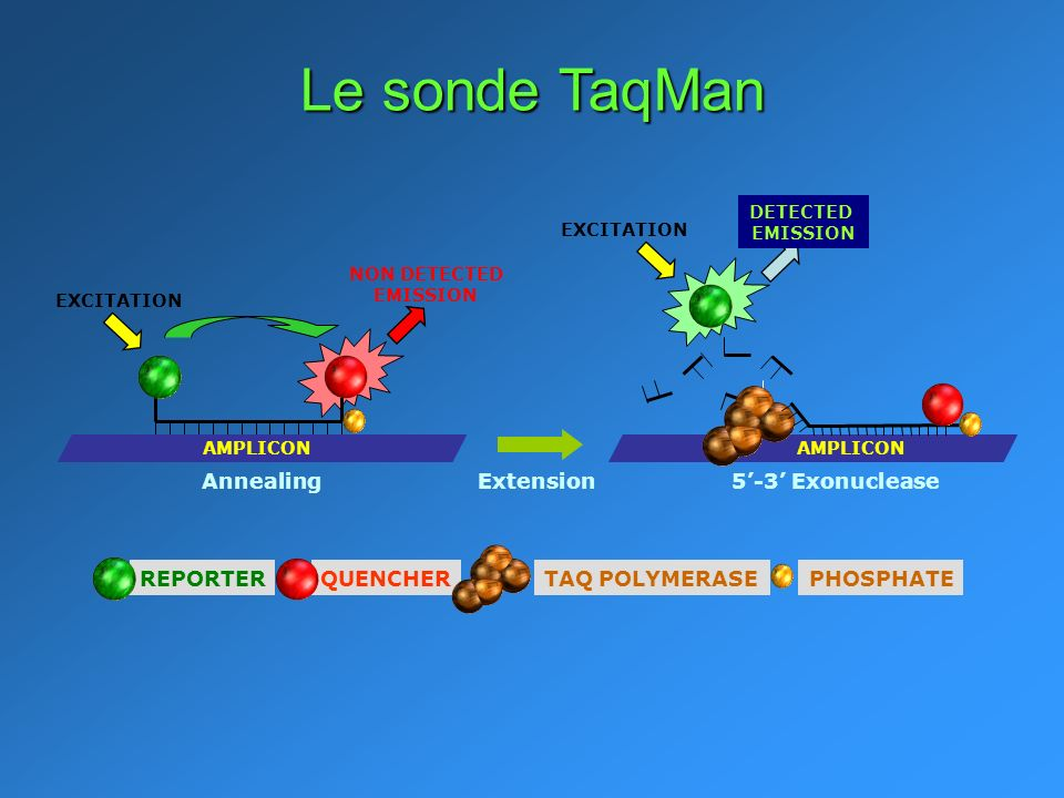 Le sonde TaqMan Annealing Extension 5'-3' Exonuclease REPORTER