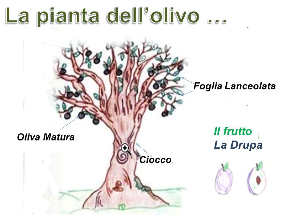 La pianta dell'olivo … Il frutto La Drupa Foglia Lanceolata