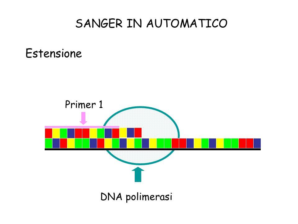 SANGER IN AUTOMATICO Estensione Primer 1 DNA polimerasi