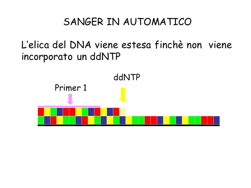 L'elica del DNA viene estesa finchè non viene incorporato un ddNTP