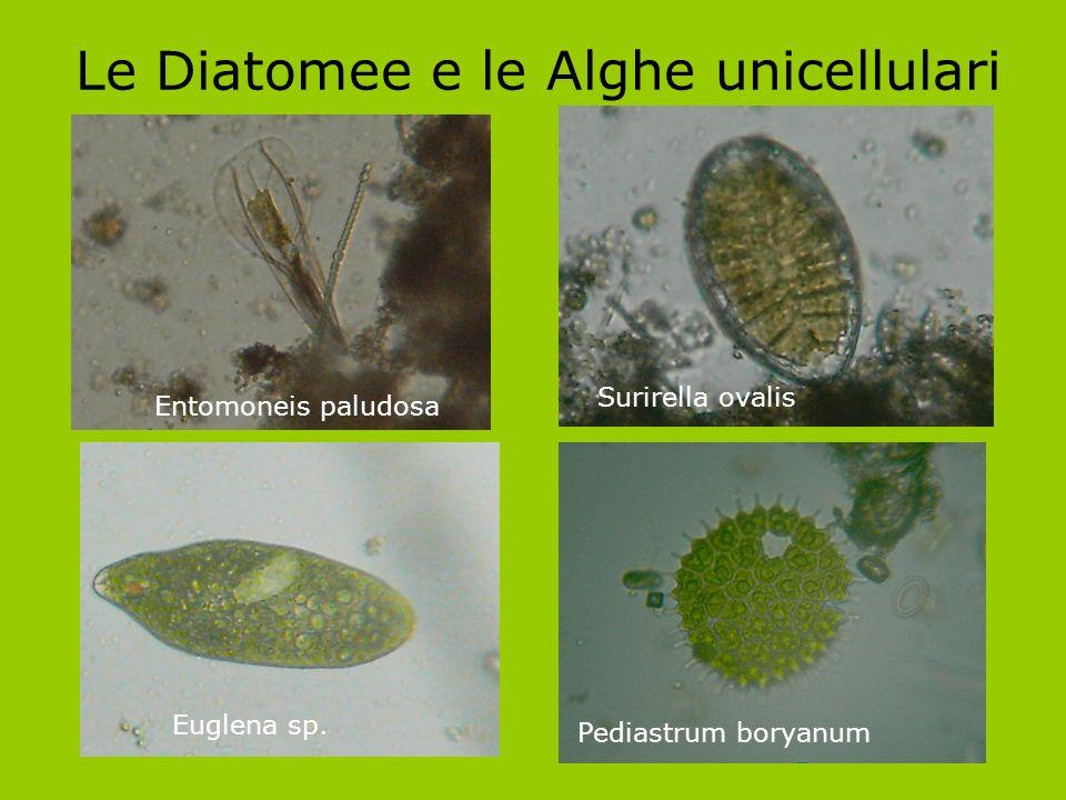 Le Diatomee e le Alghe unicellulari