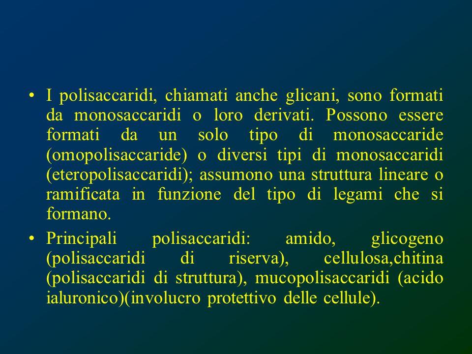 I polisaccaridi, chiamati anche glicani, sono formati da monosaccaridi o loro derivati. Possono essere formati da un solo tipo di monosaccaride (omopolisaccaride) o diversi tipi di monosaccaridi (eteropolisaccaridi); assumono una struttura lineare o ramificata in funzione del tipo di legami che si formano.