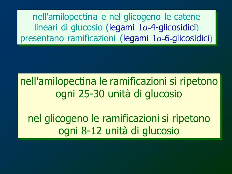 nell amilopectina le ramificazioni si ripetono