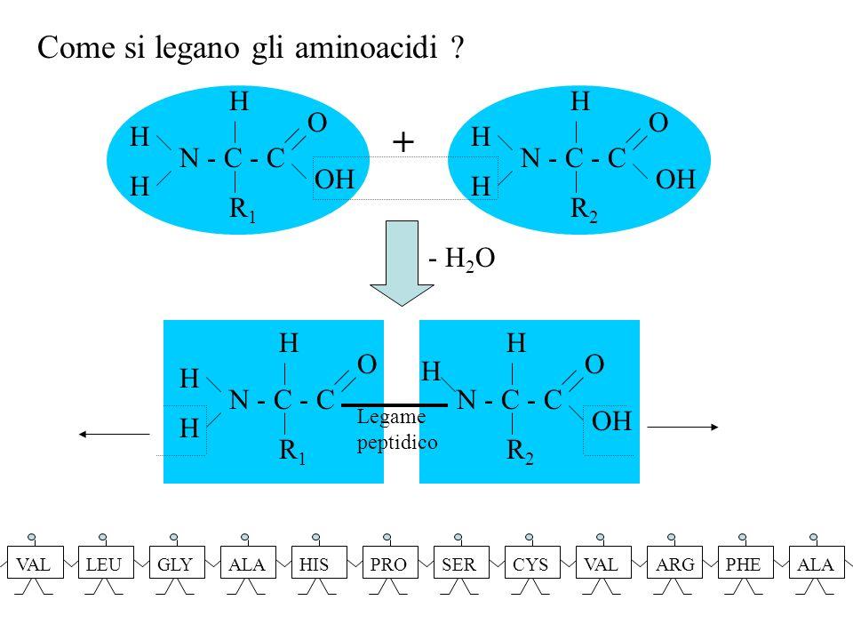+ Come si legano gli aminoacidi N - C - C R2 O OH H R1 - H2O