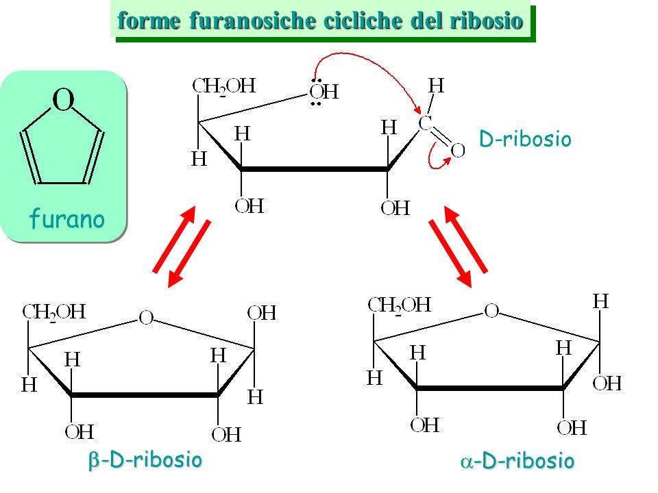forme furanosiche cicliche del ribosio