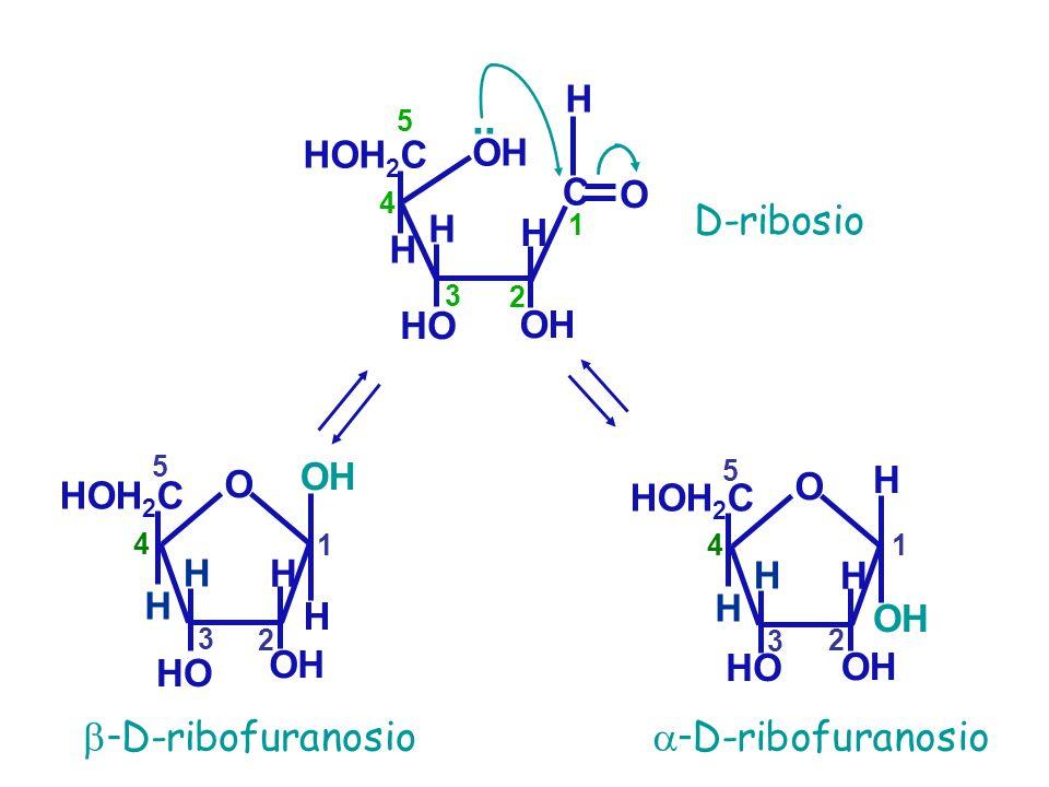 .. D-ribosio -D-ribofuranosio -D-ribofuranosio H HOH2C OH C O H H H