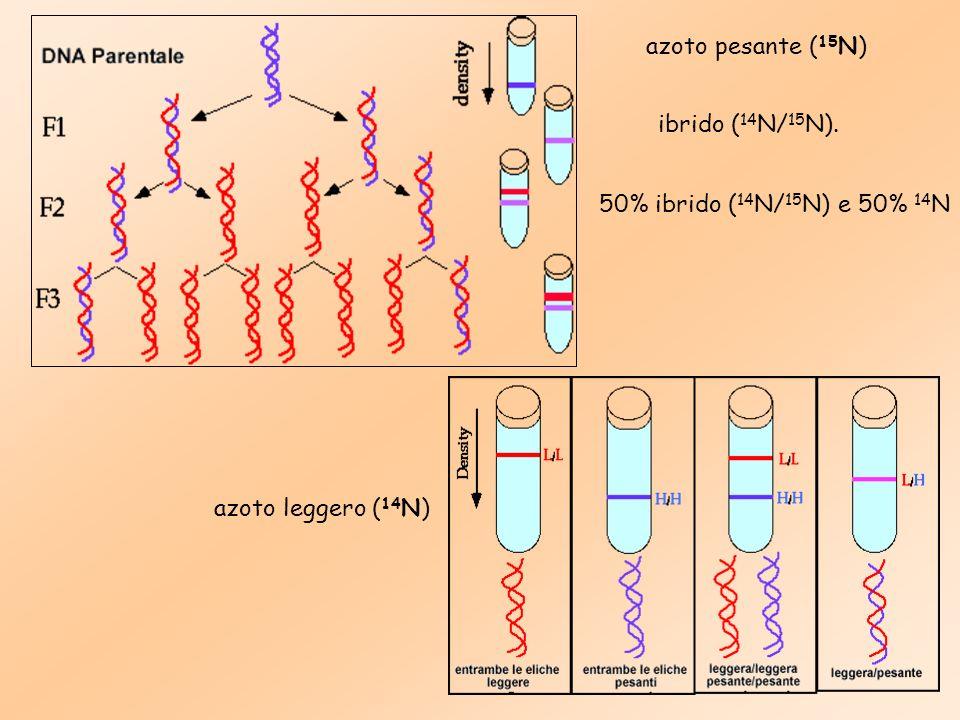 azoto pesante (15N) ibrido (14N/15N). 50% ibrido (14N/15N) e 50% 14N azoto leggero (14N)