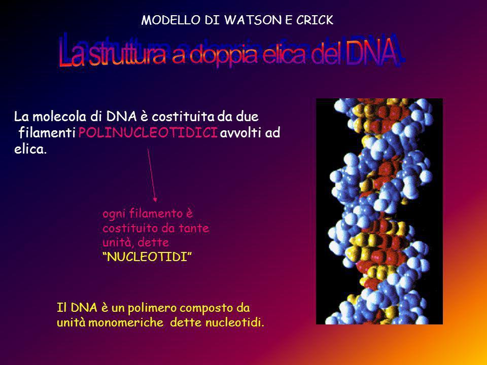 La struttura a doppia elica del DNA.