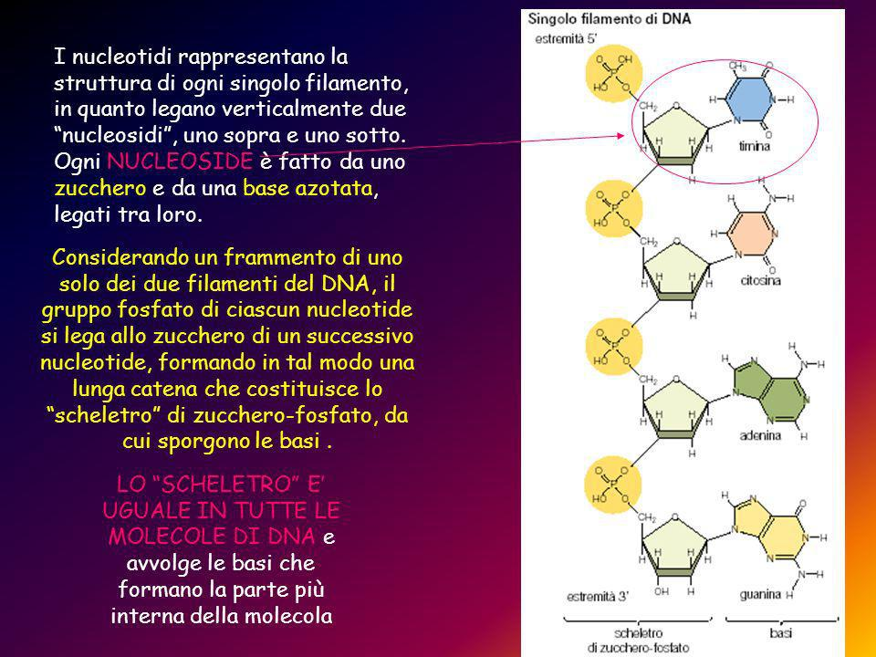 I nucleotidi rappresentano la struttura di ogni singolo filamento, in quanto legano verticalmente due nucleosidi , uno sopra e uno sotto. Ogni NUCLEOSIDE è fatto da uno zucchero e da una base azotata, legati tra loro.