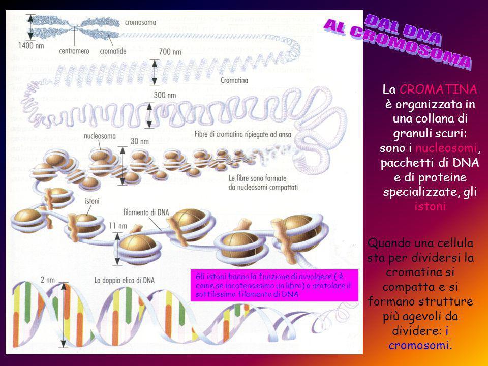 DAL DNA AL CROMOSOMA.