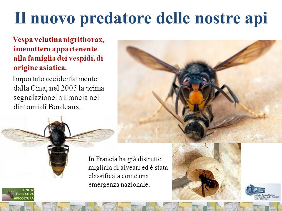 Il nuovo predatore delle nostre api