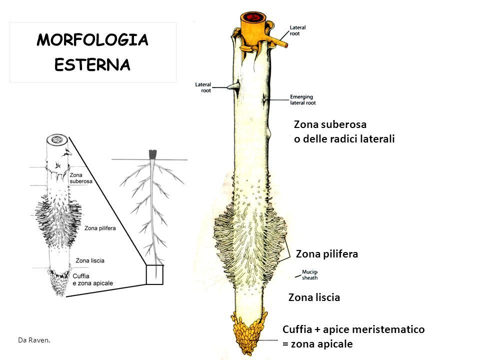 MORFOLOGIA ESTERNA Zona suberosa o delle radici laterali Zona pilifera