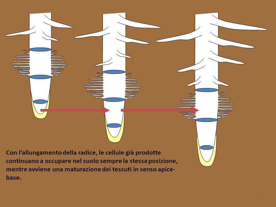 Con l'allungamento della radice, le cellule già prodotte continuano a occupare nel suolo sempre la stessa posizione, mentre avviene una maturazione dei tessuti in senso apice-base.