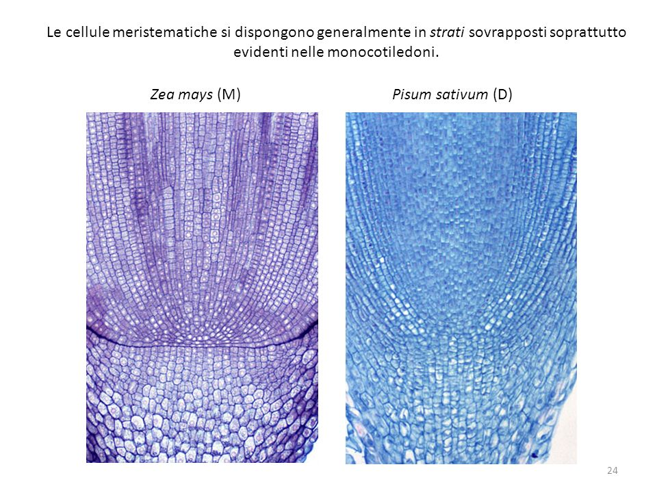 Le cellule meristematiche si dispongono generalmente in strati sovrapposti soprattutto evidenti nelle monocotiledoni.