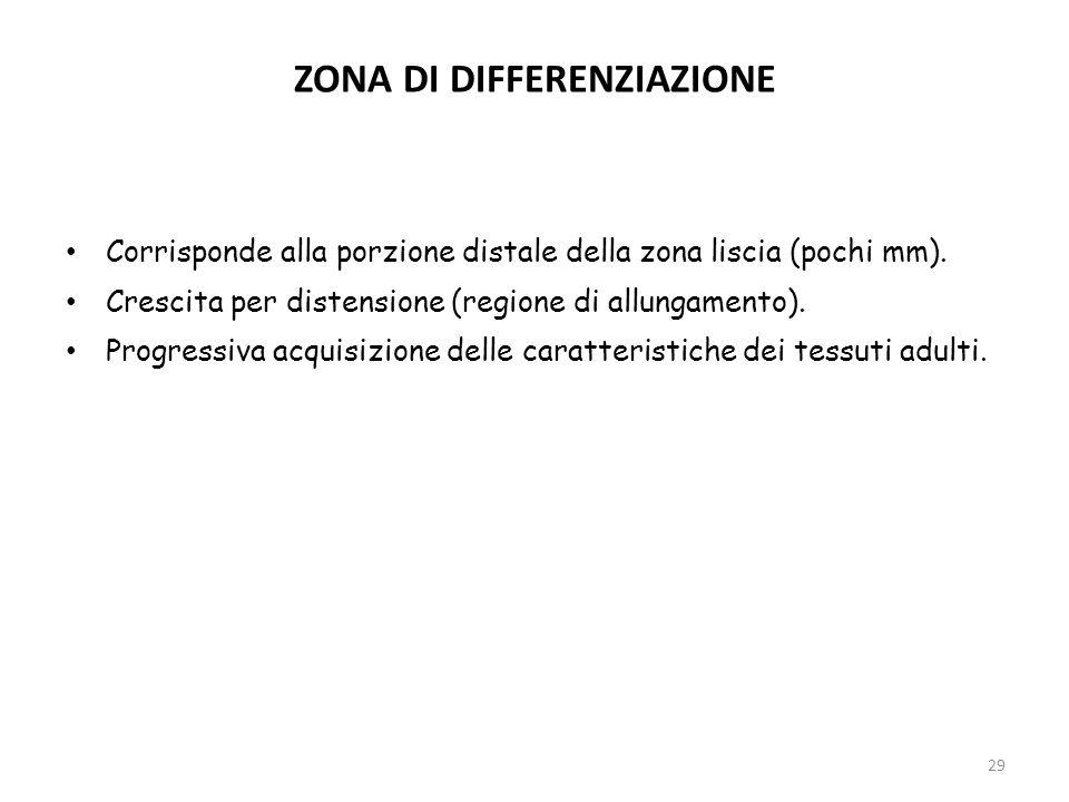 ZONA DI DIFFERENZIAZIONE